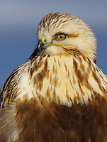Hawk - Rough-Legged