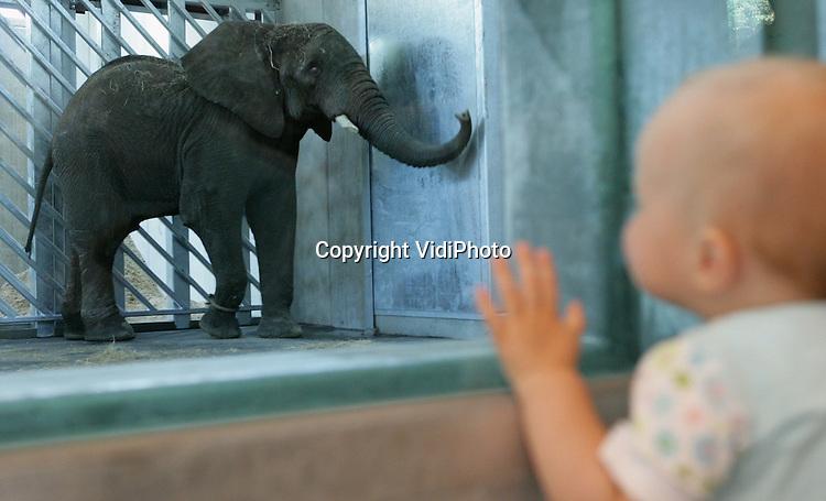 Foto: VidiPhoto..RHENEN - Voor het eerst in de historie van Ouwehands Dierenpark heeft de dierentuin een olifantstier. Dinsdag arriveerde de vijftienjarige Afrikaanse olifant Tooth uit Engeland. De naam dankt hij aan zijn slagtanden. Het dier zal voorlopig ondergebracht worden in het gloednieuwe olifantverblijf van de Rhenense Zoo. Tooth moet voor nageslacht zorgen bij de twee Afrikaanse olifanten die Ouwehands vorig jaar in bezit kreeg.