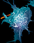 Macrophage engulfing bacteria. Macrophages are white blood cells that have left the blood vessel in search of bacterial infections. Upon finding the bacterial infection macrophages engulf the bacteria and kill the ingested pathogen by the production of reactive oxygen and nitrogen metabolites. - SEM