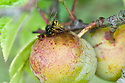 Wasps find gages - and indeed all plums - irresistible, mid August.