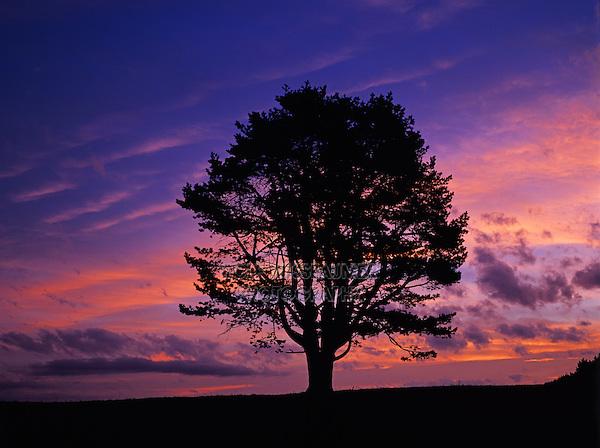 Mugo Pine, Swiss Mountain Pine, Pinus mugo, at sunset, Oberaegeri, Switzerland, Europe