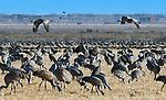 March 21, 2018: Prior to a mass liftoff, two sandhill cranes get an early start.  Each spring, as many as 27,000 sandhill cranes migrate through Colorado's San Luis Valley and the Monte Vista National Wildlife Refuge, Monte Vista, Colorado