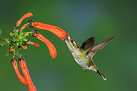 Purple-bibbed Whitetip (Urosticte benjamini), female feeding from flower,Mindo, Ecuador, Andes, South America