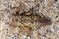 Gestreifte Quelljungfer, Larve, Cordulegaster bidentata, Sombre Goldenring, Two-toothed Goldenring, larva, larvae