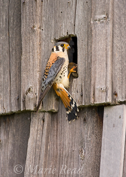 American Kestrel (Falco sparverius) male brings food (rodent) to its nest site in a barn, New York, USA