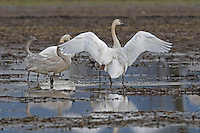 Trumpeter Swans (Cygnus buccinator)<br /> <br /> Largest and heaviest of the North American native waterfowl.