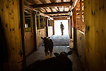A farm hand takes a young calf out to pasture at Potapovo Farm on Sunday, August 18, 2013 in Potapovo, Russia.
