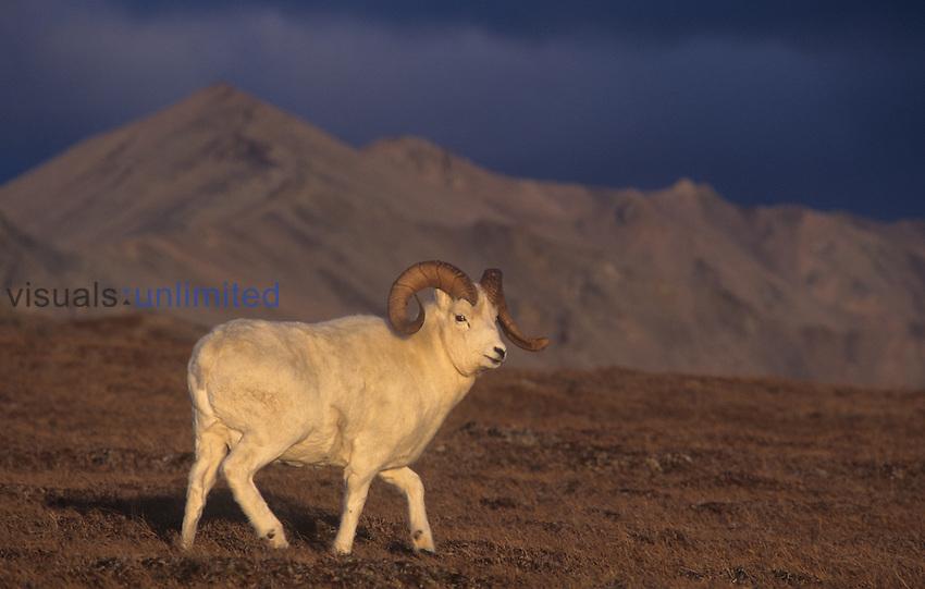 Dall Sheep ram (Ovis dalli), Denali National Park, Alaska, USA.