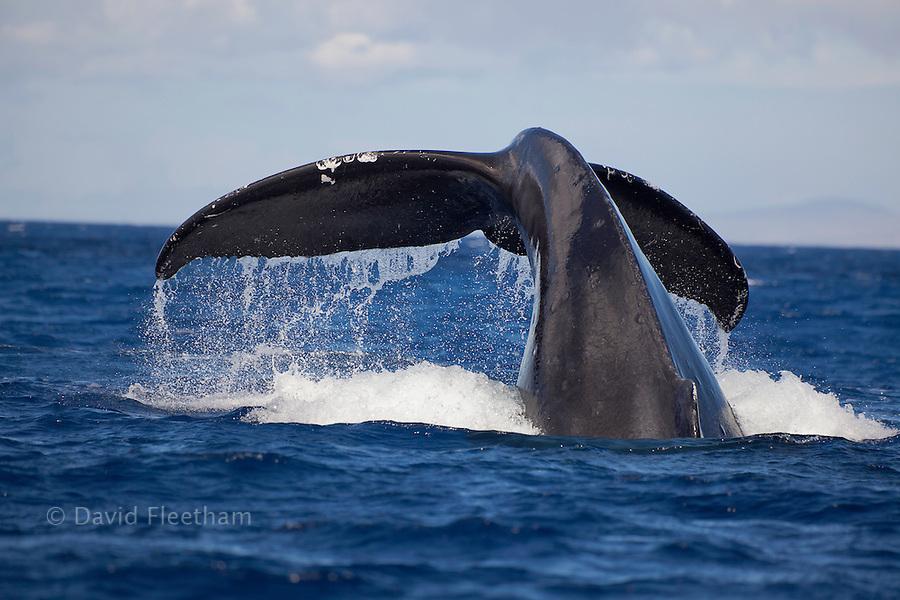 The tail of a humpback whale, Megaptera novaeangliae, off the coast of Lanai, Hawaii.
