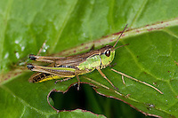Gemeiner Grashüpfer, Weibchen, Chorthippus parallelus, Chorthippus longicornis, common meadow grasshopper