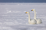 Whooper swan, Cygnus cygnus, pair sitting on frozen lake, Kussharo-ko, Hokkaido Island, Japan, japanese, Asian, wilderness, wild, untamed, ornithology, snow, graceful, majestic, aquatic, . .Japan....