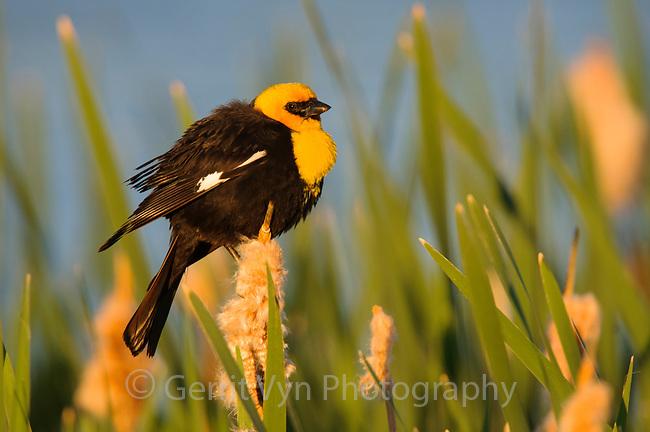 Adult male Yellow-headed Blackbird (Xanthocephalus xanthocephalus) in breeding plumage. Alberta, Canada. June.