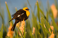 Adult male Yellow-headed Blackbird (Xanthocephalus xanthocephalus) in breeding plumage. Alberta, Canada. June.