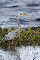 Great Blue Heron   #H3