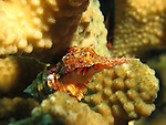 Chai Kou, Green Island - Hermit crab on Pocillopora coral branches.