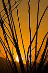 Ocotillo, Fouquieria splendens, at sunset. Saguaro National Park, Arizona