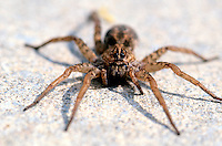 SPIDERS<br /> Wolf Spider on Ground<br /> Corolla, NC<br /> They are robust and agile hunters with good eyesight.