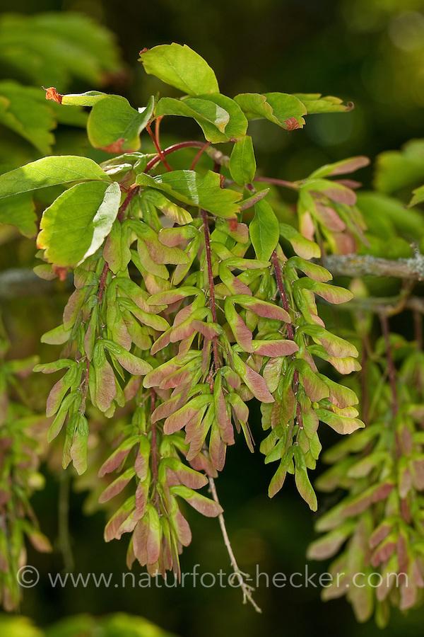 Cissusblättriger Ahorn, Klimmenblättriger Ahorn, Jungfern-Ahorn, Weinblättriger Ahorn, Acer cissifolium, Vine-leafed Maple, Vineleaf Maple