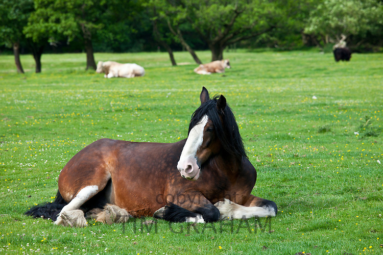 Welsh horse lying down in meadow in Snowdonia, Gwynedd, Wales