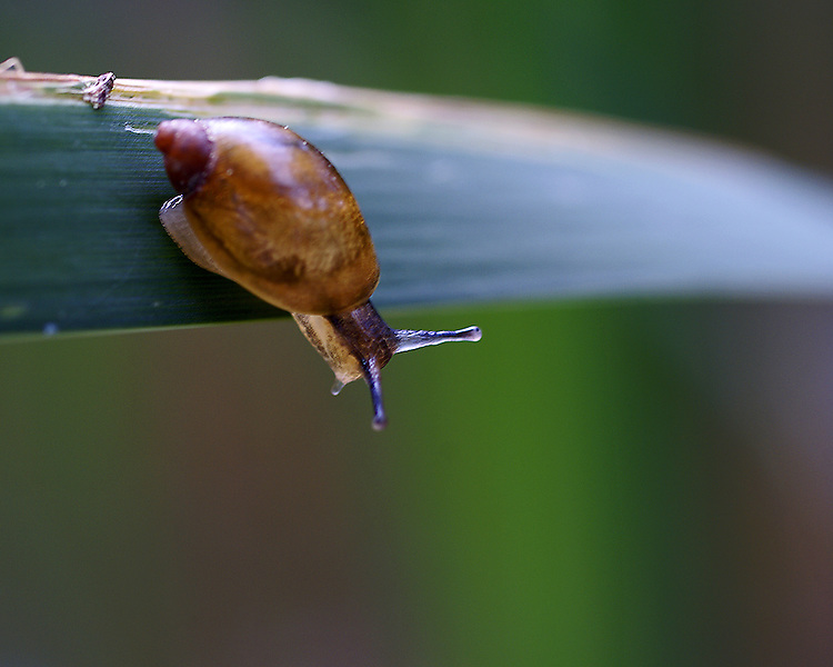 A close up of a common garden snail in shades of brown appears to be looking over the edge of a leaf against a blurry background of greens and reds. Snails chell, body and tenacles are clearly visible.