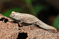 .Stumped-tailed, Dwarf, or Leaf Chameleon (Brookesia tuberculata), Montagne des Français Reserve, Antsiranana, Northern Madagascar