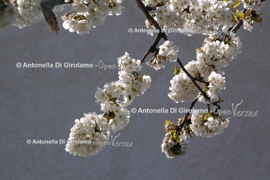 Alberi di ciliegio in fiore. Cherry trees in bloom....