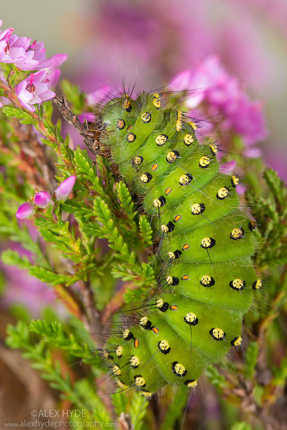 Emperor Moth {Saturnia pavonia} caterpillar feeding on Ling Heather {Calluna vulgaris}. Peak District National Park, Derbyshire, UK. August.