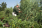 July 29, 2011. Cary, NC.. Tim Morton, the Site Services Manager at SAS, tends to the tomato and pepper plants at the company's onsite farm, which provides many of the fresh vegetables for the cafeterias on the SAS campus.. Profile of SAS, a software company that has many amenities for its employees.