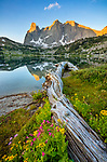 Wind River Range, WY: Flowering groundsel, monkeyflower and asters alongside fallen log at Lonesome Lake with sunrise light on Warrior Peaks and War Bonnet in the Cirque of the Towers; Popo Agie Wilderness in the Bridger National Forest