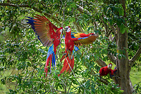 scarlet macaw, Ara macao, sparring, Alajuela Province, Costa Rica, Central America