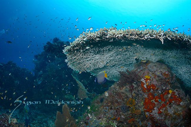 Beneath Massive coral head , Larantuka, eastern end of Flores Island, East Nusa Tenggara, Indonesia. ,