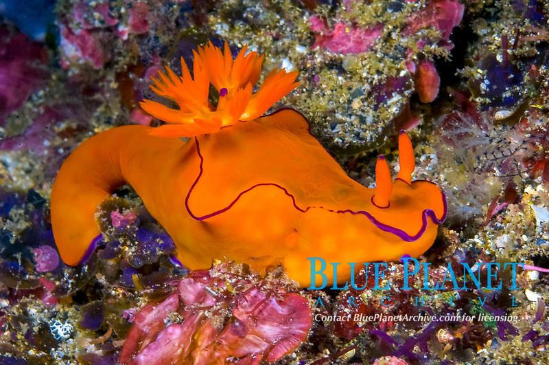 A brightly colored Nudibranch Ceratosoma species cruises off Lamalera Alor Indonesia Indo pacific Ocean