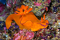 A brightly colored Nudibranch Ceratosoma species cruises off Lamalera Alor Indonesia Indo pacific Ocean