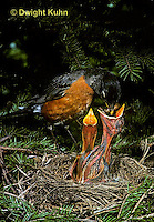 RO03-002z   American Robin - adult feeding young birds at nest - Turdus migratorius