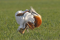 Great Bustard - Otis tarda, male displaying