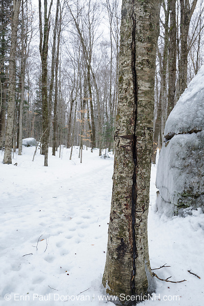 Franconia Notch State Park - Hardwood tree with crack along a walking path at the Flume Gorge in Lincoln, New Hampshire during the winter months.
