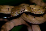 Brown tree snake, Boiga sp., Lembeh Strait, Bitung, Manado, North Sulawesi, Indonesia, Pacific Ocean