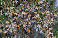 Western Monarch Butterflies (Danaus plexippus) in wintering cluster in pine tree, coastal California.  From a distance the clustering monarchs look like dead leaves.