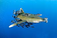 Oceanic whitetip shark (scientific name: Carcharhinus longimanus), fish swiminng around Daedalus Reef, Egypt, Red Sea. The shark swims with a school of pilot fish (scientific name: Naucrates ductor).