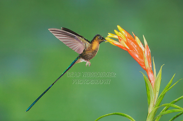 Violet-tailed Sylph (Aglaiocercus coelestis), male feeding on bromeliad flower, Mindo, Ecuador, Andes, South America