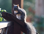 Western gray squirrel, FB-S171, 4x6 postcard front