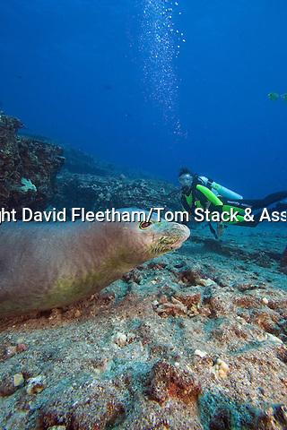 Diver (MR) with a Hawaiian monk seal, Monachus schauinslandi, (endemic and endangered), Niihau Island,  Hawaii.