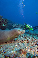Diver (MR) with a Hawaiian monk seal, Monachus schauinslandi, (endemic and endangered), Niihau Island,  Hawaii.