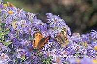 03405-00514 American Lady (Vanessa virginiensis) & Common Buckeye (Junonia coenia) on Frikart's Aster (Aster frikartii) Marion Co. IL