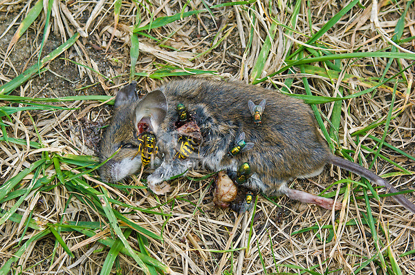 Deer Mouse (Peromyscus maniculatus) carcass is eaten by yellow jackets & blowflies near Lake Erie shore, summer, southern Ontario, Canada.