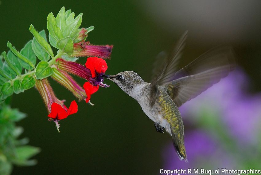 Black-chinned Hummingbird feeding on Bat-faced Cuphea
