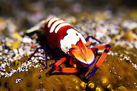 Emperor shrimp on sea cucumber