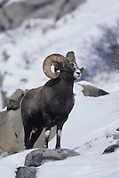 Bighorn Sheep, Mountain Sheep (Ovis canadensis), adult male in snow, Rocky Mountain National Park, Colorado, USA