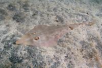 Yellow Guitarfish, Rhinobatos schlegelii, resting on sandy sea bed. Japan Izu Oceanic Park