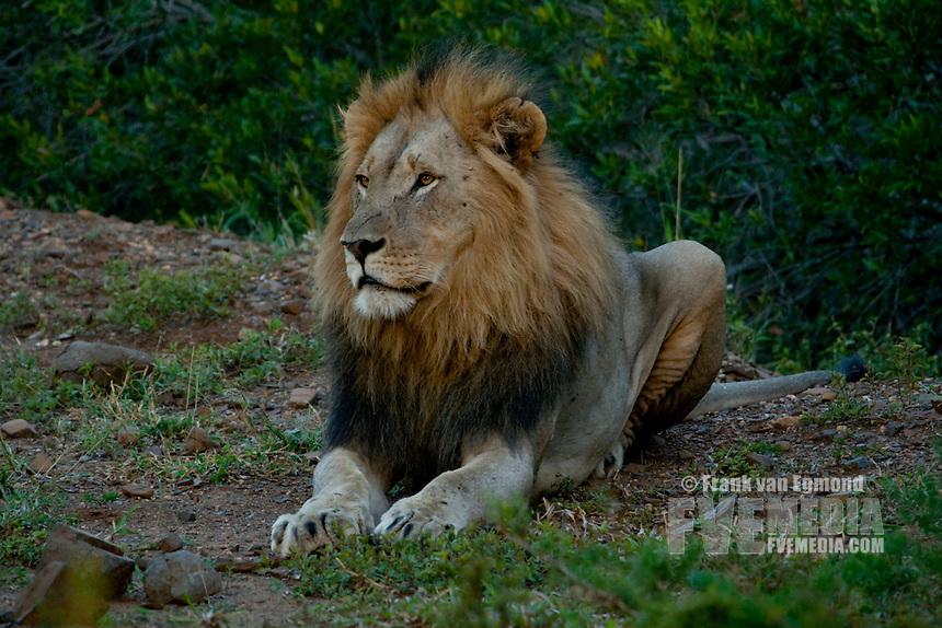 Male Lion (Panthera Leo)..Winter, May 2009..Hluhluwe-Imfolozi Game Reserve, Kwazulu Natal, South Africa.